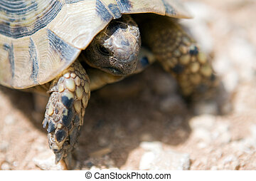 young small desert Turtle