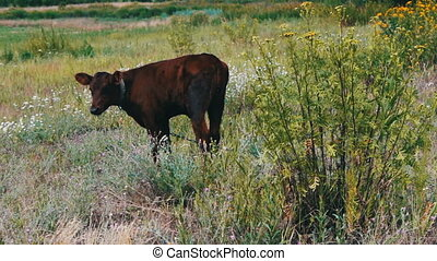 Young small red-haired calf grazing in meadow - Young small...