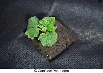 small sprout of cucumber grows from the ground on agrofibre