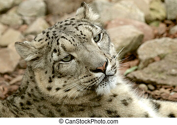 Young Snow Leopard