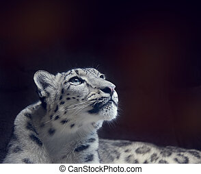 Young Snow leopard portrait on dark background