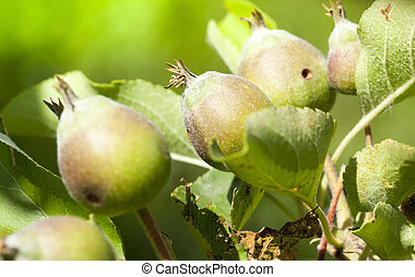 young sour apples