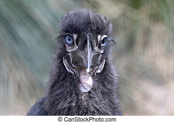 Young Southern ground hornbill