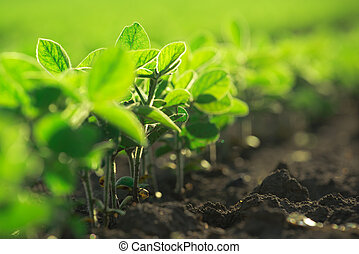 Young soybean plants growing in cultivated field, soybean...