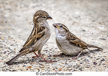 Young Sparrow And Its Parent
