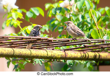 Young sparrows sitting on old rusty bars