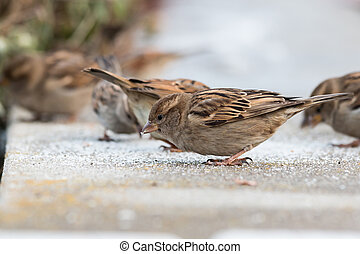 Young female sparrows (Passer domesticus)