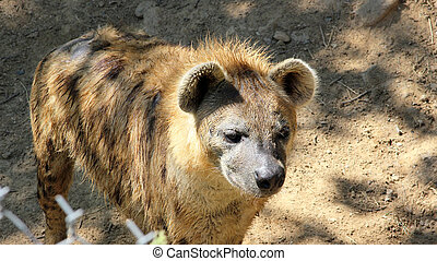 Young Spotted Hyena