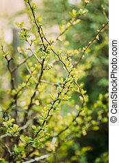Young Spring Green Leaf Leaves Quince Growing In Branch Of ...