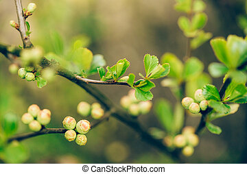 Young Spring Green Leaves And Unblown Buds Of Quince Growing...