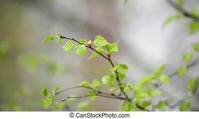 Young spring leaves on  birch tree in the wind