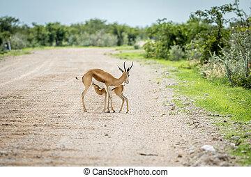 Young Springbok calf suckling on a gravel road.