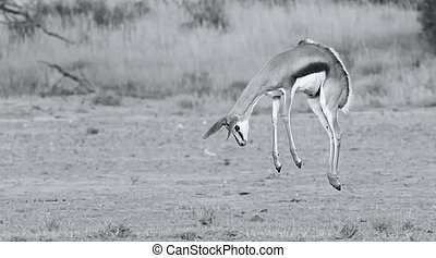 Young springbok doe prancing on a plain in the Kgalagadi artistic conversion