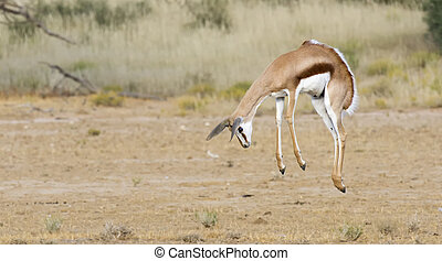 Young springbok male prancing on a plain in the Kgalagadi