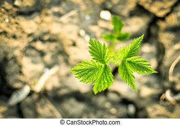 Young sprout of raspberries in spring on a blurred background