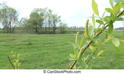 Young sprouts of a willow in the spring - Young sprouts and...