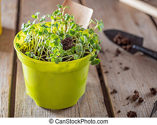 Young sprouts of arugula in a green pot grown at home