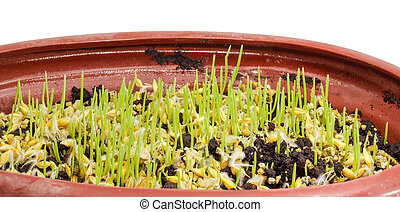 Young sprouts of barley with dew drops during germinating seeds