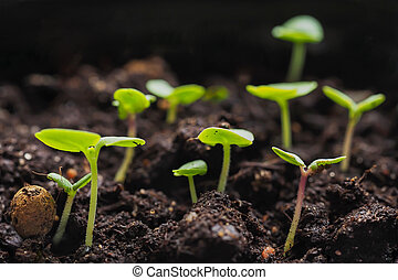 Young sprouts of Basil in the spring. Close up.