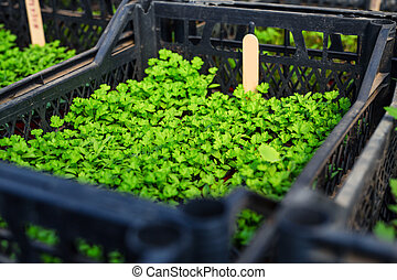 Young sprouts of parsley in spring garden.