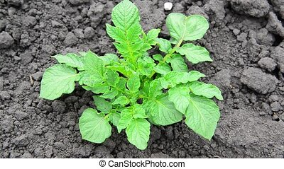 Young sprouts of potatoes in field