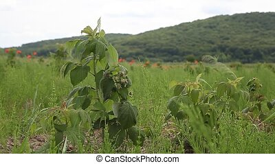 sprouts of raspberry in the field - Young sprouts of...