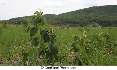 sprouts of raspberry in the field