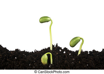 Young sprouts of soy in soil humus