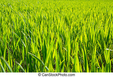 Young sprouts of wheat in a field in spring