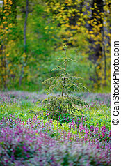 Young spruce on spring glade among the blooming flowers and...