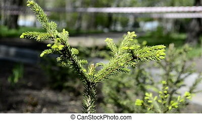 Young spruce spring