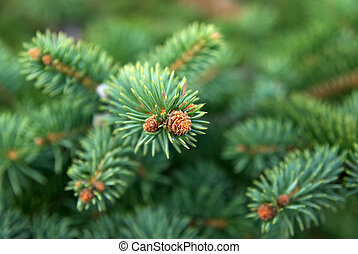 Young spruce. Nature composition.