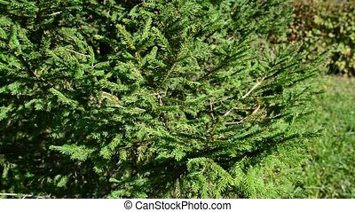 Young spruce twigs in summer park - Young spruce twigs in...