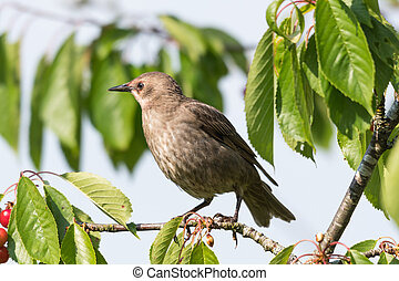 Young Starling closeup