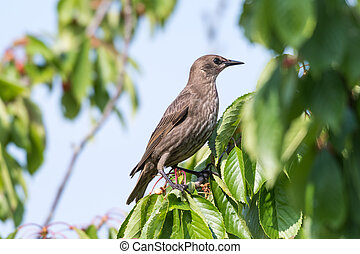 Young starling in a cherry tree