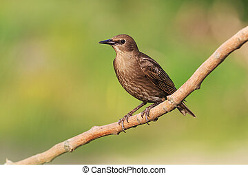 young starling sits on a branch