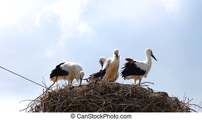 young storks in the nest against the sky