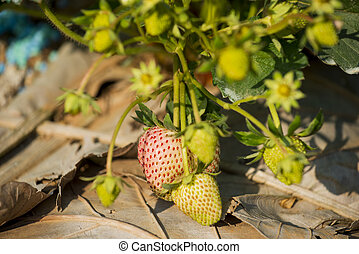 young strawberry plant in the morni