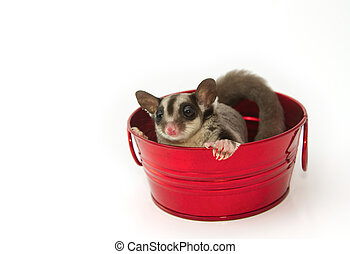 young sugar glider in the red pot