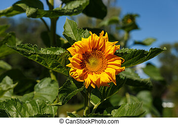 young sunflower in the field on a sunny day