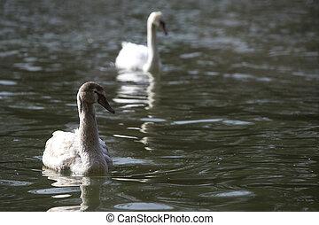 Young swan at the lake
