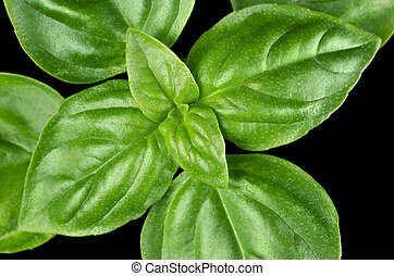 Young Sweet Basil Leaves Closeup - Young Sweet Basil leaves...