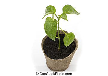 Young sweet pepper seedlings in a pot of peat