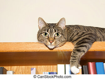 tabby cat grey and tan with white paws laying on the top of a bookshelf