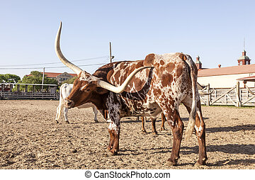 Young Texas Longhorn Steer - Young Texas Longhorn steer with...