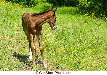 Young timorous foal on a spring pasture