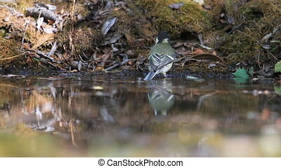 young titmouse bathes in a forest puddle, spring period
