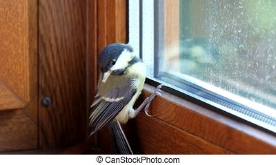 Young titmouse flew into the room and does not know how to...