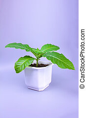 young tobacco grows in flower pot