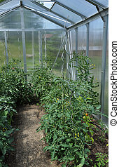 Young tomato plants in green house